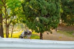 愉快地互相戏弄的两三只鸽子 免版税库存图片