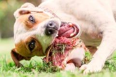愉快地嚼一根大未加工的骨头的杰克罗素狗幼小狗 免版税库存图片