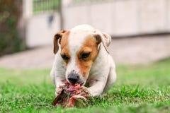 愉快地嚼一根大未加工的骨头的杰克罗素狗幼小狗 库存照片