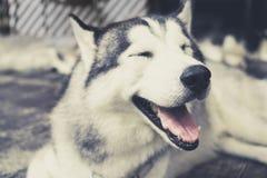 愉快地笑和微笑外面在vinta的多壳的西伯利亚狗 库存照片