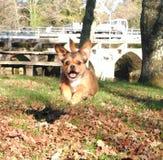 愉快地跳横跨森林的小狗 免版税库存图片