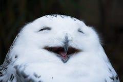 愉快微笑白色和野生多雪的猫头鹰,打呵欠与闭合的眼睛早晨 免版税库存照片