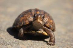 愉快的乌龟 免版税库存照片