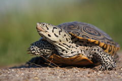 愉快的乌龟 图库摄影