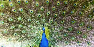 愉快的五颜六色的孔雀 免版税图库摄影