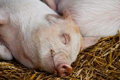 愉快的休眠小猪 免版税库存照片