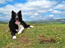 愉快的博德牧羊犬 免版税库存图片