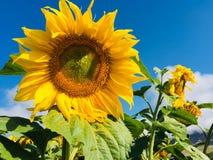 愉快的向日葵和清楚的天空 库存图片