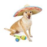 愉快的墨西哥奇瓦瓦狗十字架狗 库存照片