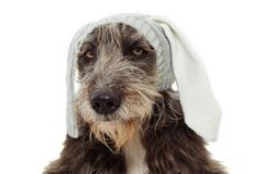 愉快的复活节狗 滑稽的护羊狗佩带的兔宝宝或兔子耳朵 隔绝在白色Bakground 免版税库存照片
