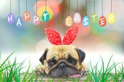 愉快的复活节 佩带复活节兔子兔宝宝耳朵的哈巴狗坐与淡色五颜六色鸡蛋 免版税库存图片