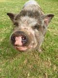 愉快的大肚子猪 库存图片