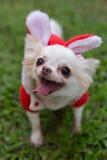 愉快的奇瓦瓦狗小狗逗人喜爱的宠物 免版税库存照片