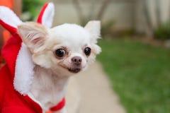愉快的奇瓦瓦狗小狗逗人喜爱的宠物 库存图片