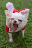 愉快的奇瓦瓦狗小狗逗人喜爱的宠物 免版税库存图片