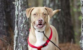 愉快的实验室美国牛头犬与红色鞔具,宠物收养摄影混合了品种狗 库存照片
