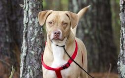 愉快的实验室美国牛头犬与红色鞔具,宠物收养摄影混合了品种狗 库存图片