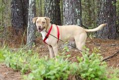 愉快的实验室美国牛头犬与红色鞔具,宠物收养摄影混合了品种狗 免版税库存照片