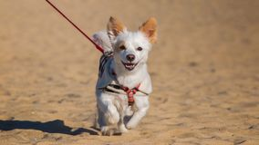 愉快的宠物小狗 免版税库存图片