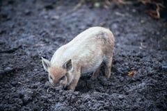愉快的家养的小猪和猪演奏并且获得乐趣公开 生态和有机食品的概念在一个养猪场的vil的 免版税图库摄影
