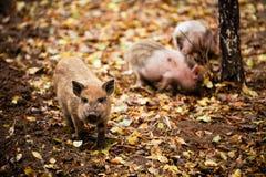 愉快的家养的小猪和猪演奏并且获得乐趣公开 生态和有机食品的概念在一个养猪场的vil的 图库摄影