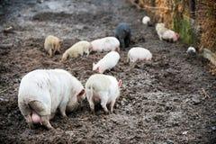 愉快的家养的小猪和猪演奏并且获得乐趣公开 生态和有机食品的概念在一个养猪场的vil的 免版税库存图片