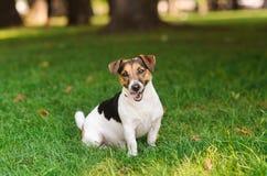 愉快的小狗跳并且冲 免版税库存照片