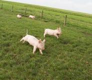 愉快的小猪 免版税库存图片