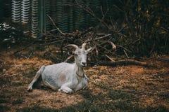 愉快的山羊在一个小村庄 库存照片