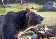 愉快的微笑的北美灰熊在蒙大拿 免版税库存图片