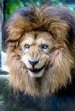 愉快的微笑的狮子画象说来一少许更加接近 免版税库存照片