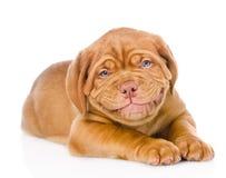 愉快的微笑的红葡萄酒小狗 背景查出的白色 免版税图库摄影