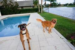愉快的拳击手狗和金毛猎犬在后院 库存照片