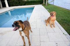 愉快的拳击手狗和金毛猎犬在后院 免版税库存图片