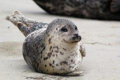 愉快的斑海豹 库存照片