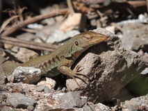 愉快的日光浴地面蜥蜴 免版税库存照片