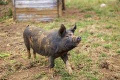 愉快的有机猪 免版税库存照片