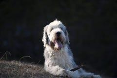 愉快的有胡子的大牧羊犬 图库摄影