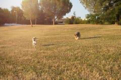 愉快的杰克罗素和跑在草的护羊狗狗在日落 库存照片