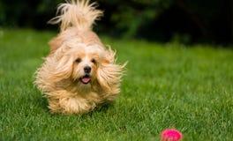 愉快的橙色havanese狗追逐在草的一个球 免版税图库摄影