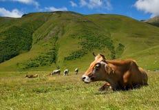 愉快的母牛休息 库存照片