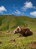 愉快的母牛 免版税库存照片