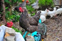 愉快的母鸡。 免版税库存图片