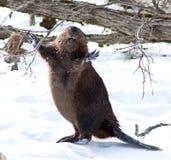 愉快的海狸在冬天 图库摄影