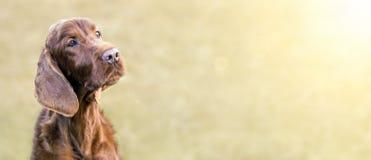 愉快的爱尔兰人的特定装置狗横幅 图库摄影