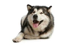 愉快的爱斯基摩狗 免版税库存图片