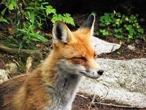 愉快的狐狸 图库摄影