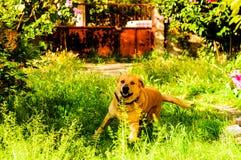 愉快的狗在天堂般的村庄议院庭院里 图库摄影