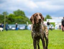 愉快的狗在草甸 免版税库存照片