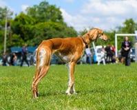 愉快的狗在草甸 免版税库存图片